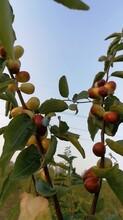 韶關脆棗種植方法圖片