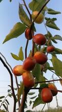 湖南酥脆枣种苗价格图片