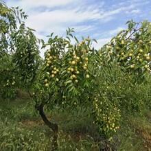 汕頭脆棗種植圖片