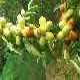 新田縣酥脆棗水果種植價格產品圖