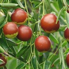 深圳脆棗種植圖片