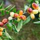 水果種苗批發圖