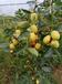 深圳酥脆棗水果種苗