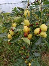 梅州脆枣种植技术图片