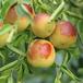 深圳酥脆枣水果种植价格