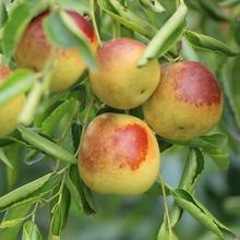 娄底酥脆枣水果种植价格图片