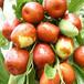 道縣酥脆棗水果品種齊全