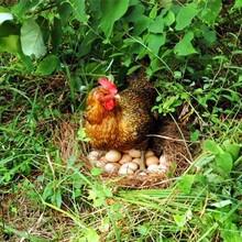 祁陽縣土雞蛋圖片
