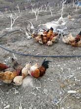 梅州枣园土鸡图片