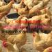 廠價直銷正宗三黃土雞苗黃土1黃土2品質保證疫苗到位運輸中包成活