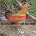 廠價直銷正宗小腳青腳土雞苗成年肉質好吃土雞中的王雞