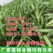 高产牧草种子多年生新型皇竹草高丹草菊营紫花首着黑麦草