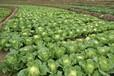 河南娃娃菜小白菜种植基地欢迎全国收购商前来