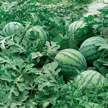 河南西瓜種植基地/黑無籽,花無籽西瓜/誠信代收代發圖片