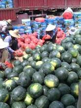 露天美都8424黑無籽西瓜大量上市貨源多多歡迎采購圖片