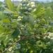 珠寶藍莓苗產地泰安愛科東營珠寶藍莓苗