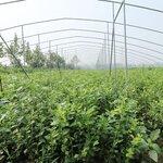 營養缽珠寶藍莓苗育苗基地珠寶藍莓樹苗品種正宗