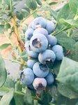 大果型珠寶藍莓苗管理技術珠寶藍莓苗順豐包郵
