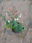 營養缽珠寶藍莓苗種植基地珠寶藍莓苗露天管理技術