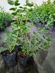 大果珠寶藍莓苗移栽季節珠寶藍莓苗順豐包郵