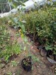 泰安珠寶藍莓苗栽種時間珠寶藍莓苗順豐包郵