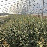 大果型珠寶藍莓苗根系發達珠寶藍莓苗修剪培訓
