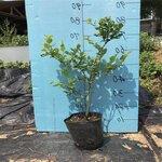 營養缽珠寶藍莓苗順豐包郵珠寶藍莓苗種植距離