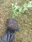 大果型珠寶藍莓苗品種介紹珠寶藍莓苗種植要求