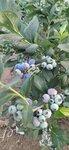 營養杯珠寶藍莓苗詳情介紹珠寶藍莓苗修剪培訓