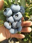 早熟珠寶藍莓苗批發價格珠寶藍莓樹苗適應地區