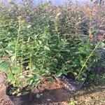 山東珠寶藍莓苗基地直銷珠寶藍莓苗露天管理技術