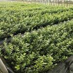 大果珠寶藍莓苗管理技術珠寶藍莓樹苗品種正宗