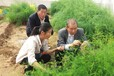 內蒙古蘆筍幼苗種植