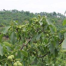 沈阳核桃树苗种植技术图片