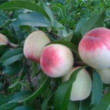顺义桃树种苗图片