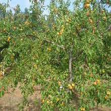 葫芦岛杏树种苗图片