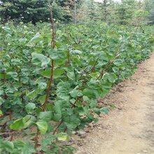 东莞杏树种苗图片
