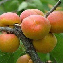 钦州杏树种植基地图片
