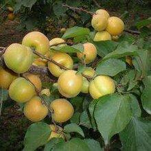 儋州杏树种苗批发图片