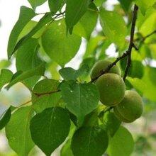 武清区杏树种植技术图片