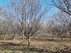 批發紅寶石海棠,綠化苗木海棠樹,庭院海棠樹