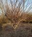 垂絲海棠樹價格,10公分垂絲海棠樹多少錢