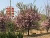 觀賞綠化樹園區直供質優價廉