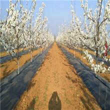 四川果樹鋪設防草布好處圖片