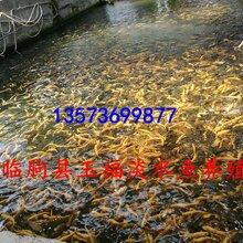 长期销售虹鳟和金鳟鱼卵,量大从优。图片