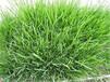 平頂山草籽包發芽
