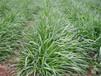 福州草籽批发