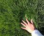 福州草籽种子价格