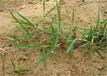 南平草坪种子支持货到付款