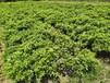 杜鹃小苗种苗价格